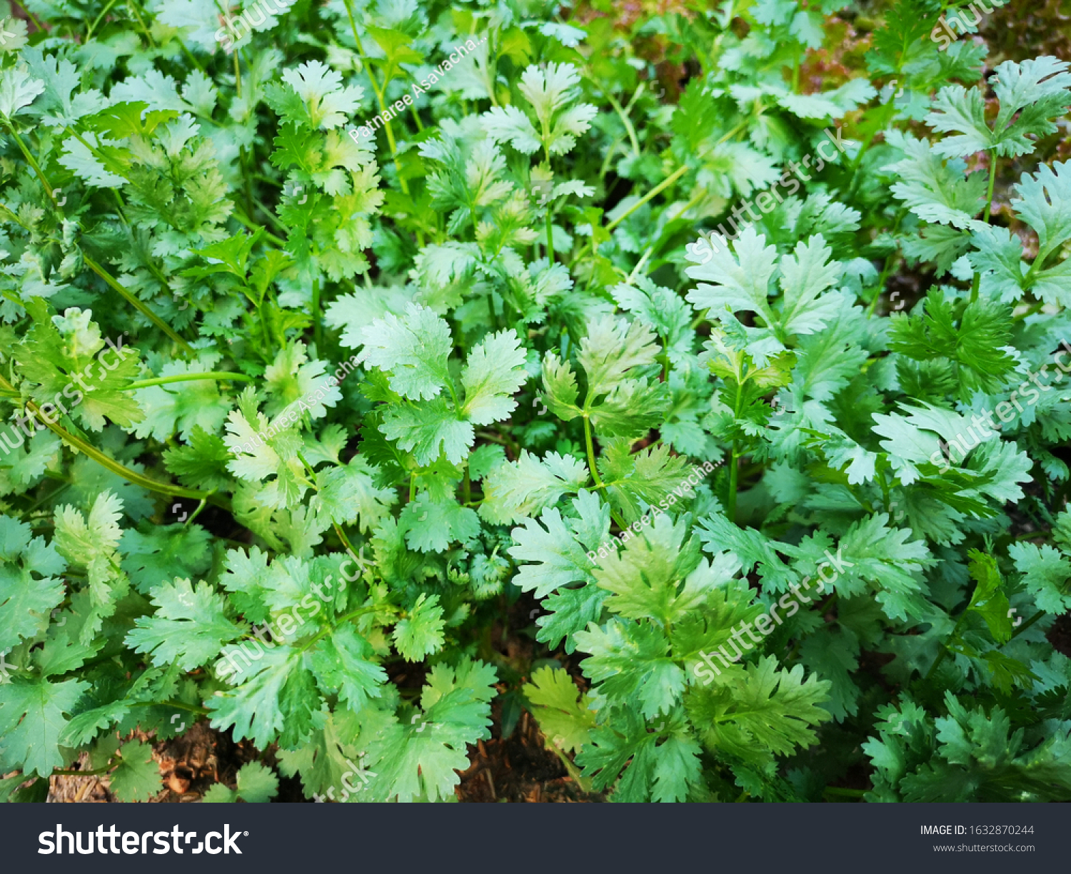 organic thai coriander cilantro herb sprouts stock photo