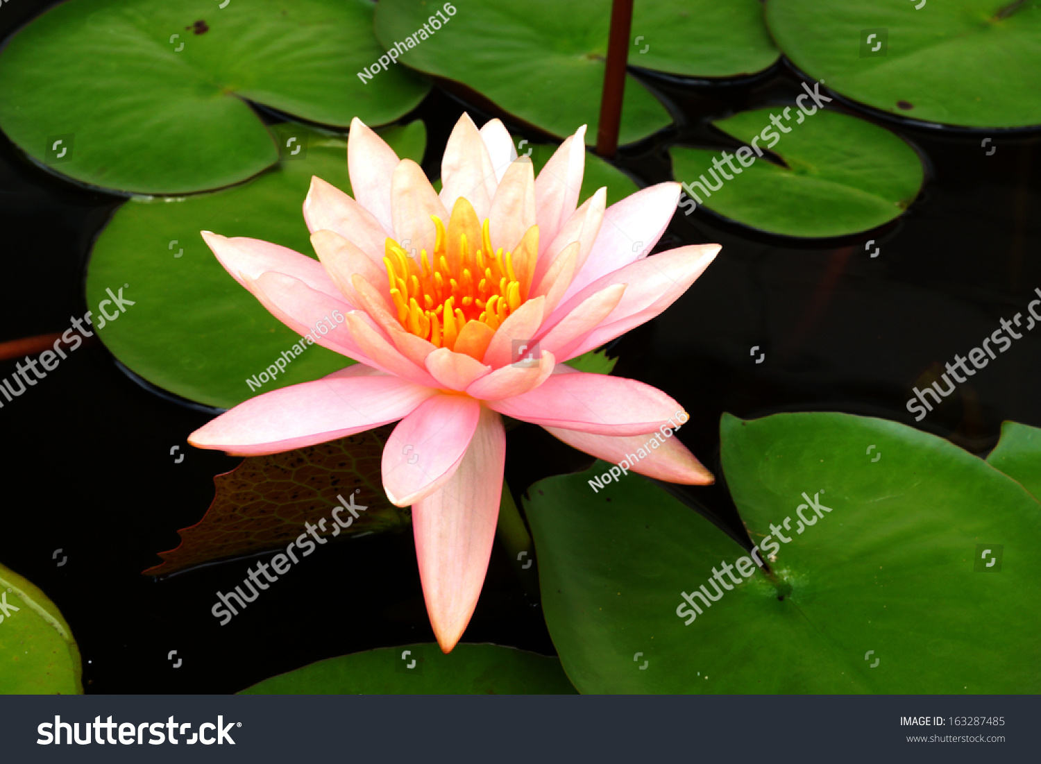 Lotus Flower Blooming Rainy Season Stock Photo Edit Now 163287485