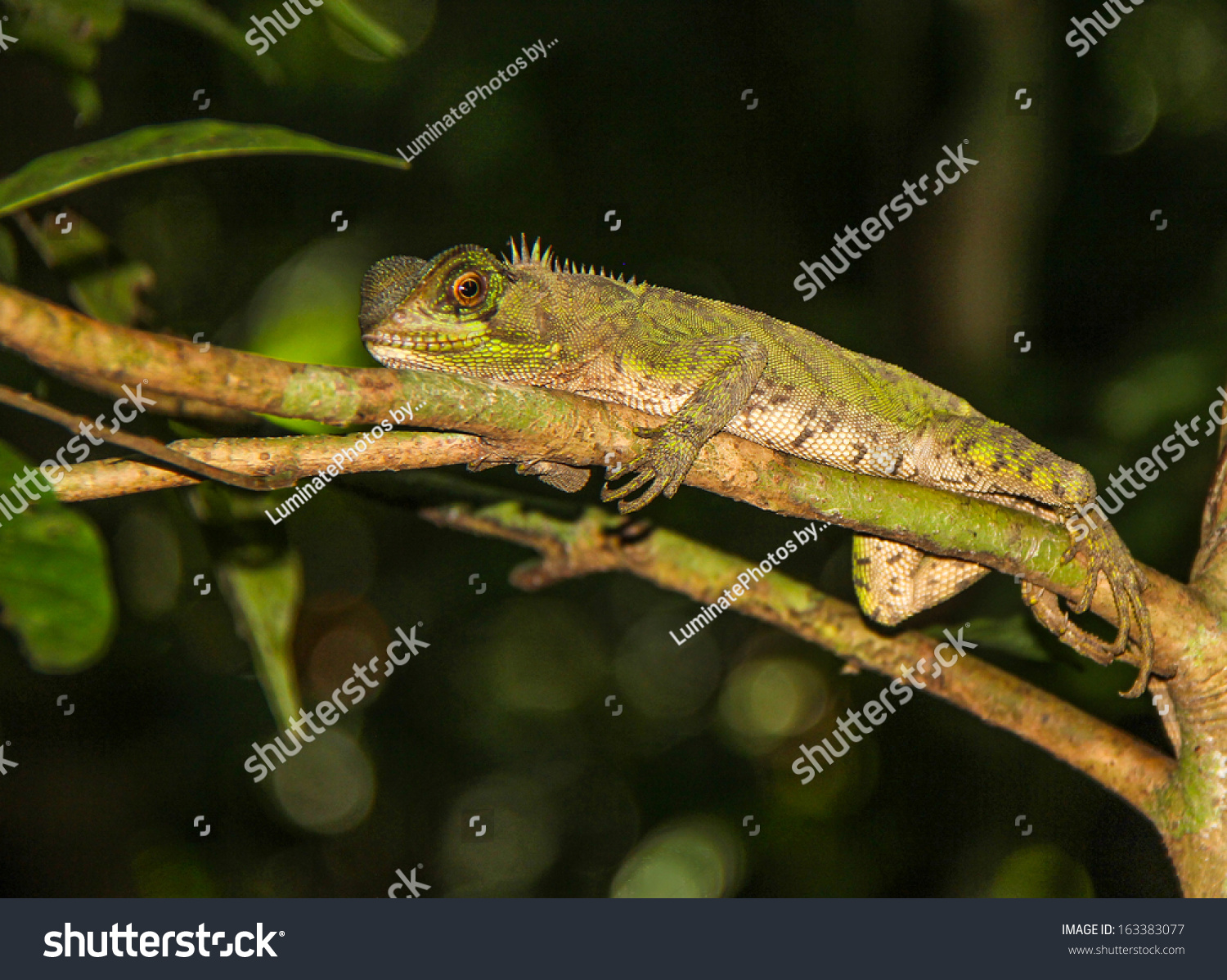guichenots dwarf iguana amazon ecuador stock photo 163383077