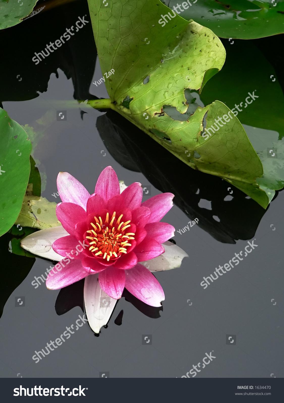 Blossom Pink Lotus Flower Japanese Pond Stock Photo Edit Now