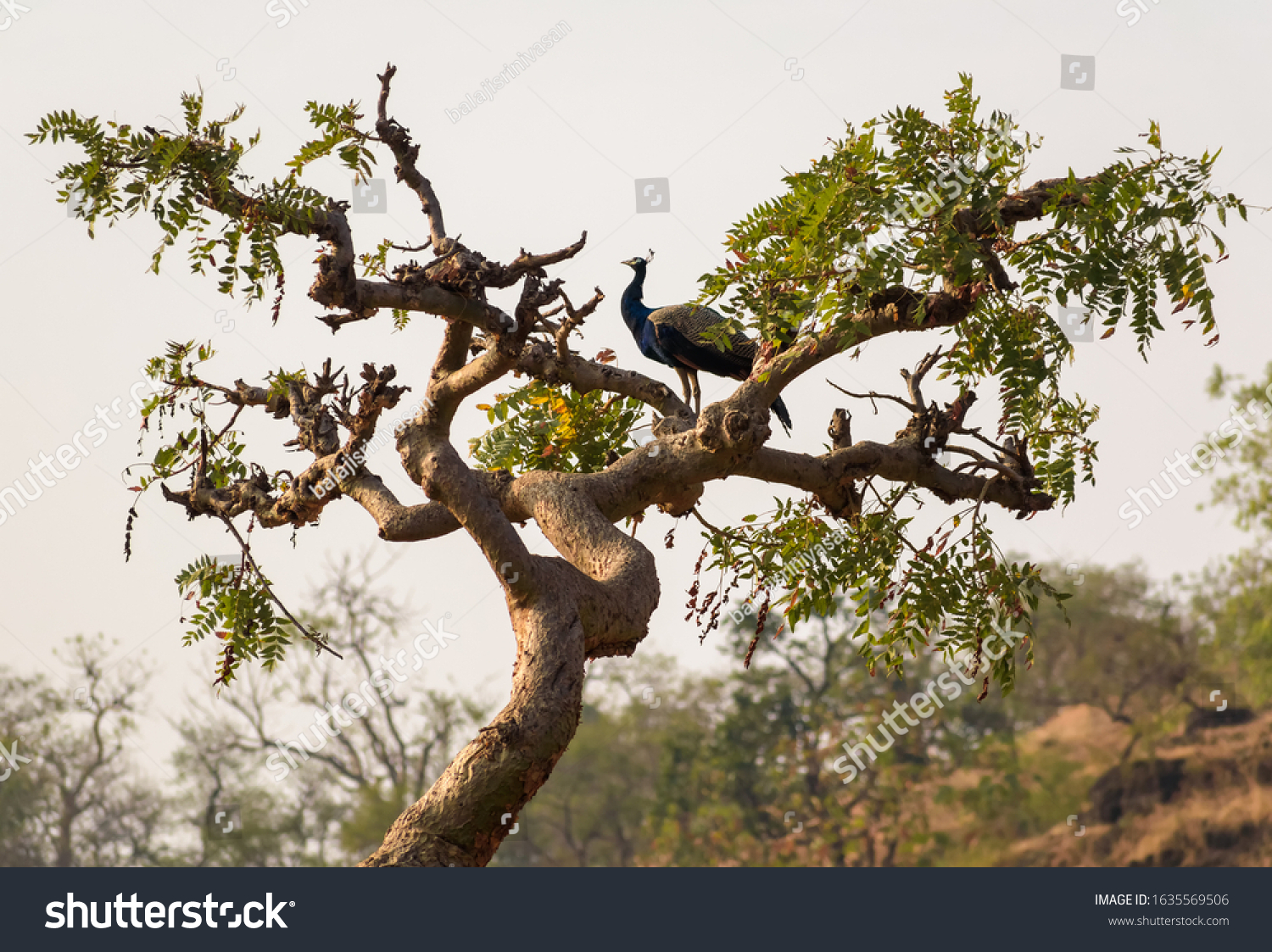stock-photo-a-peacock-stands-on-top-of-t