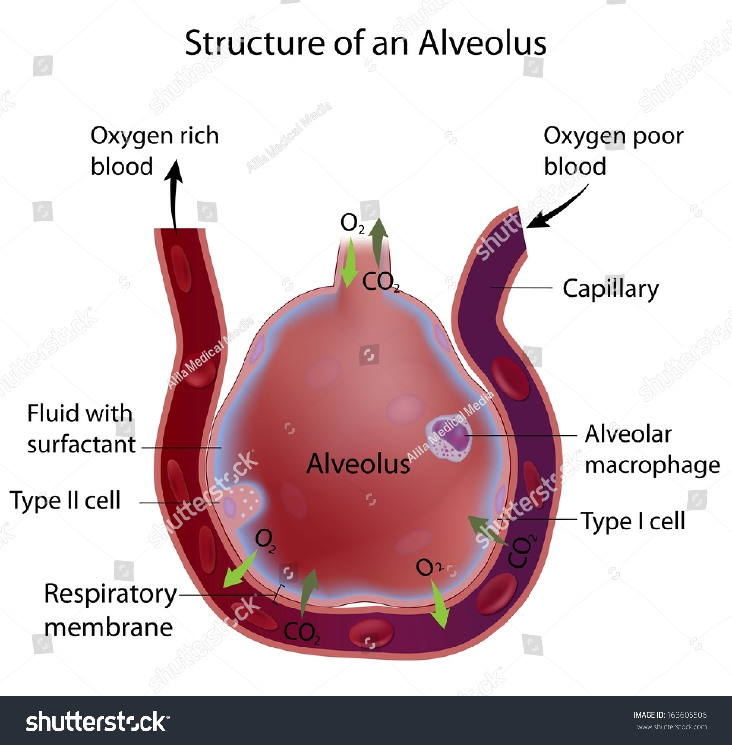 Royalty Free Stock Illustration Of Structure Alveolus Stock