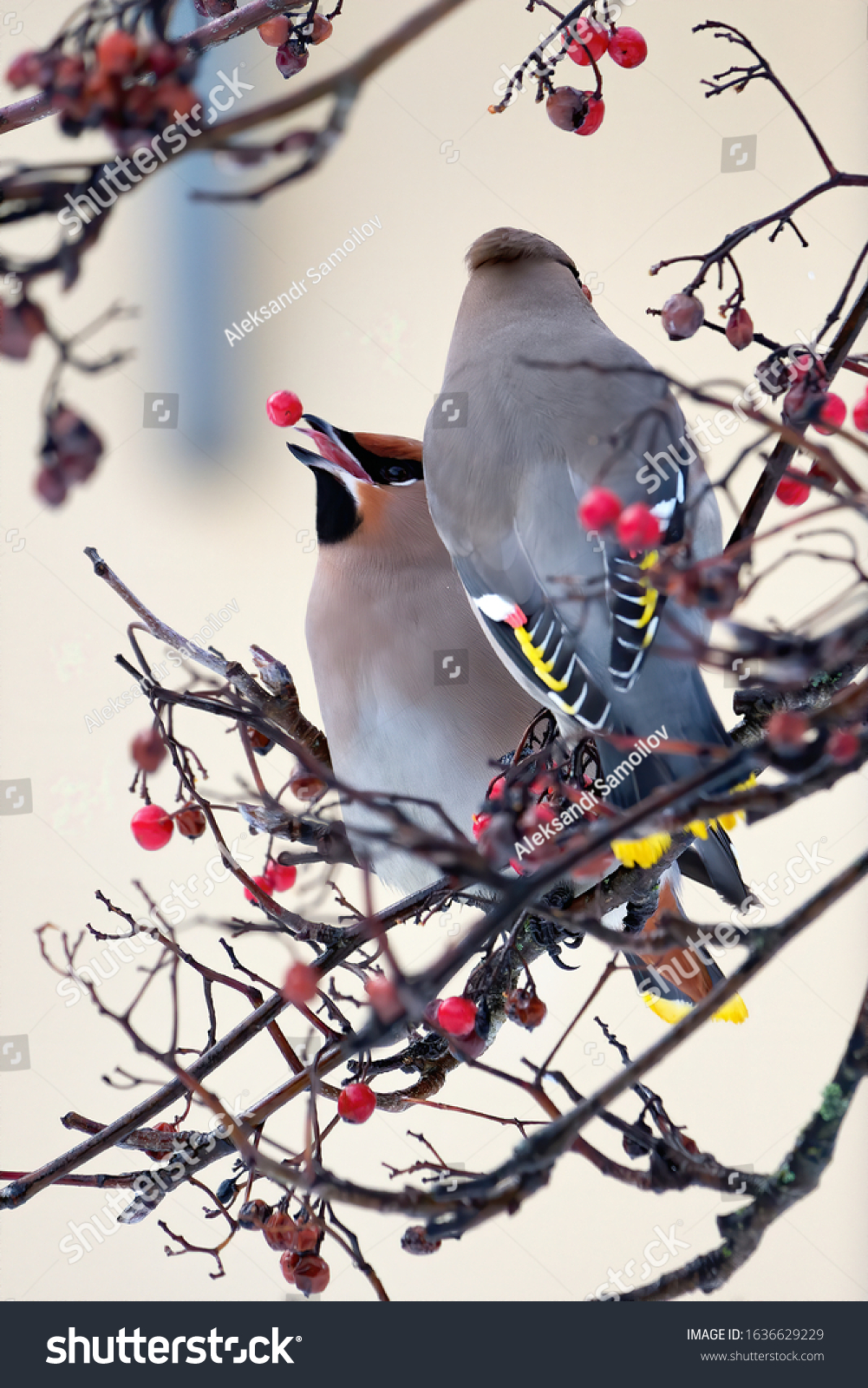 Two Bohemian Waxwings eating berries together.