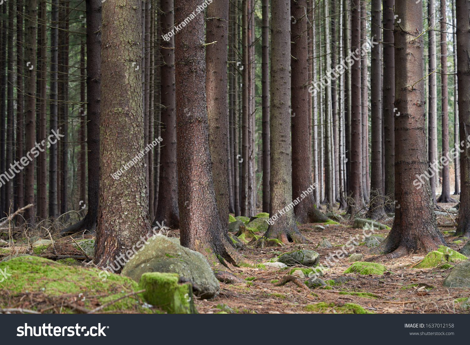 Scenic view of spruce trees. Spruce forest on a sunny day. Needles, moss and rocks on the ground.