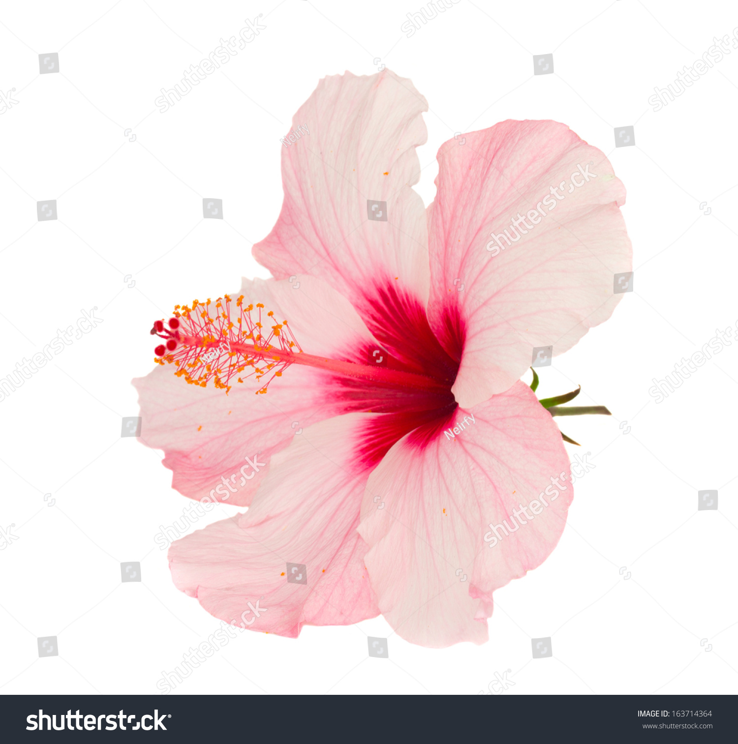 Pink Hibiscus Flower Isolated On White Stock Photo Edit Now