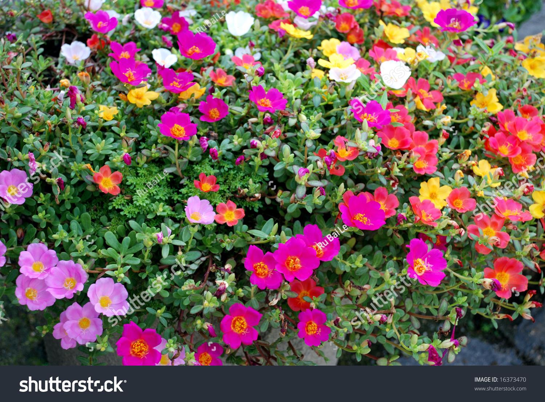 Colorful half lotus flowers on ground stock photo edit now the colorful half lotus flowers on the ground izmirmasajfo