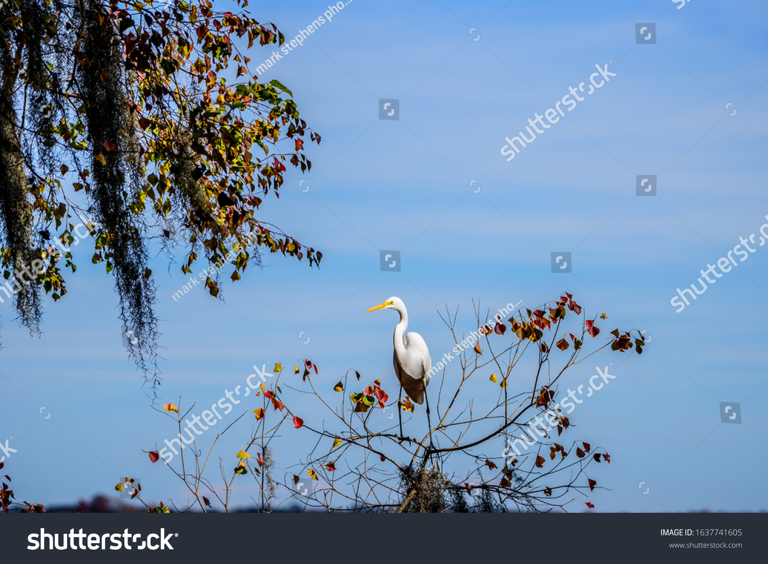 stock-photo-great-white-egret-ardea-alba