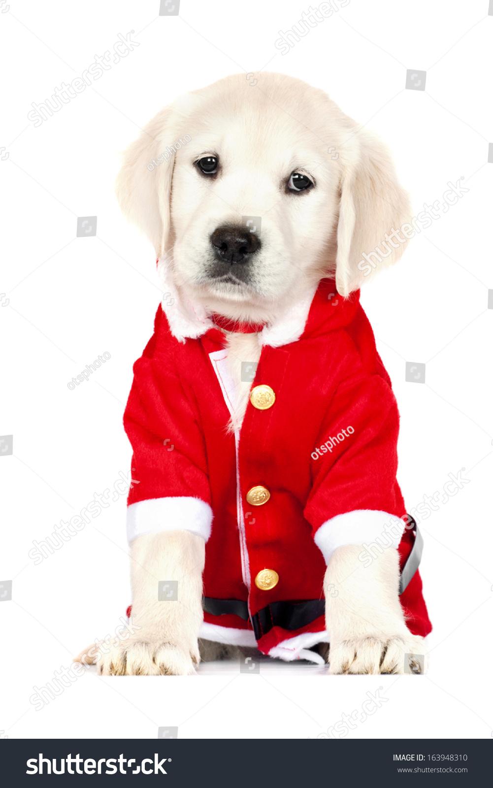 Adorable Golden Retriever Puppy Santa Costume Stock Photo Edit Now 163948310
