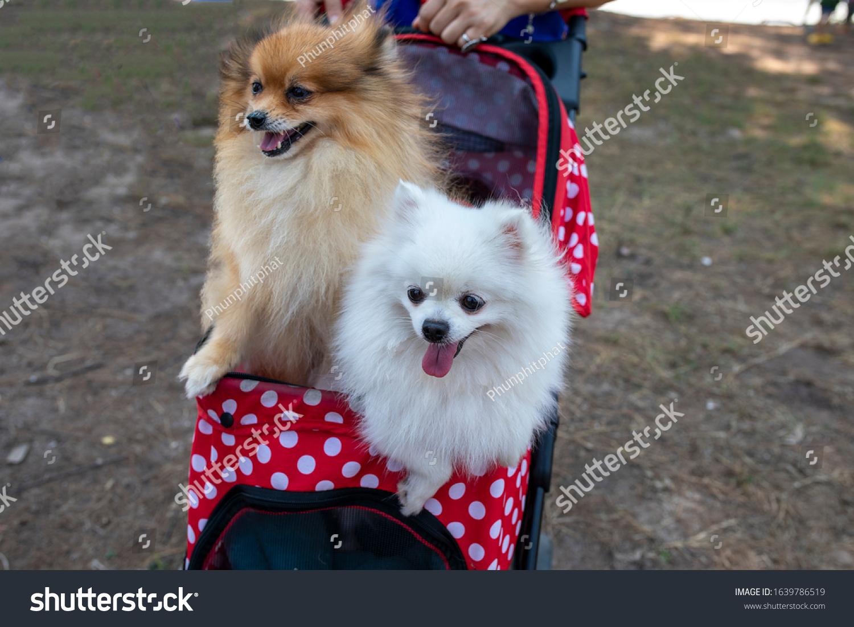 Pomeranian Dogs Baby Cart Stock Photo Edit Now 1639786519