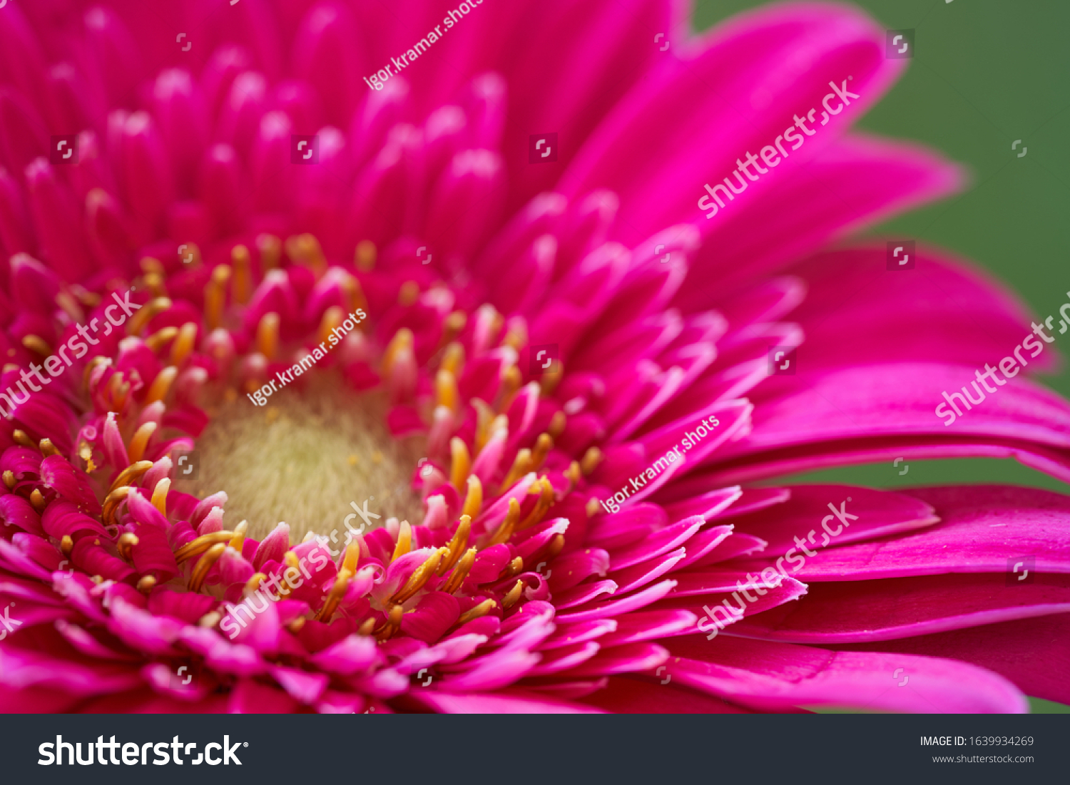 stock-photo-close-up-of-gerbera-jamesoni