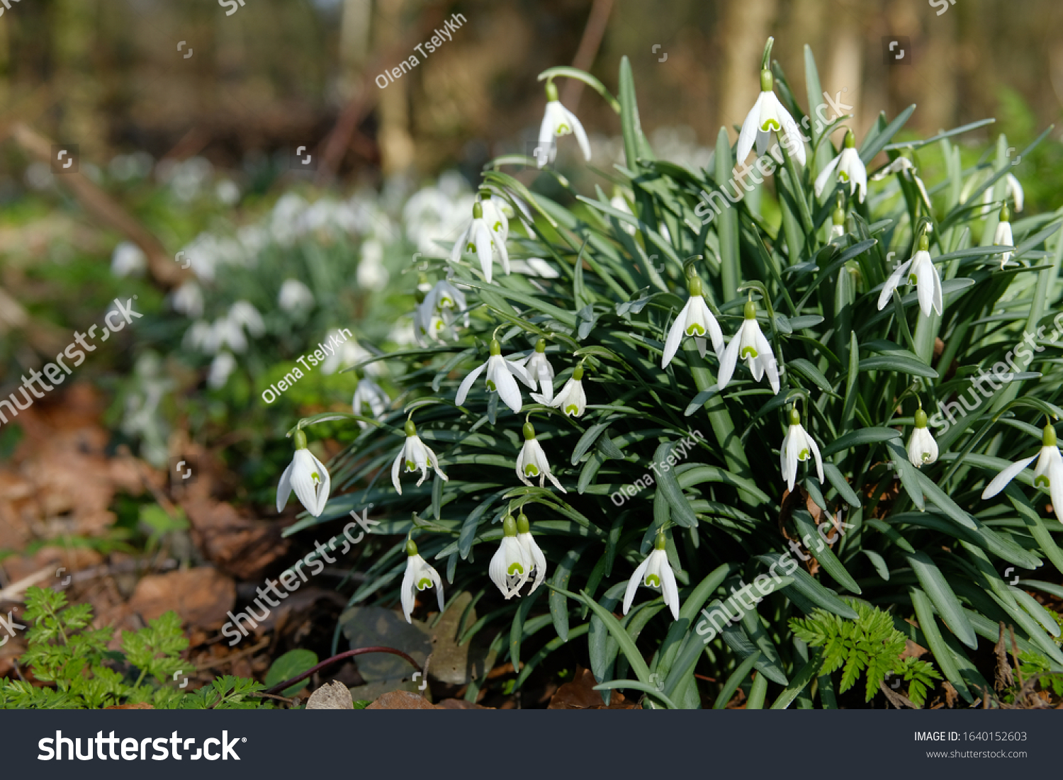 White spring snowdrops. Snowdrops field. Galanthus nivalis. Snowdrop spring flowers. Snowdrop or Galanthus. Spring flower snowdrop is the first flower in the end of winter and the beginning of spring. #1640152603