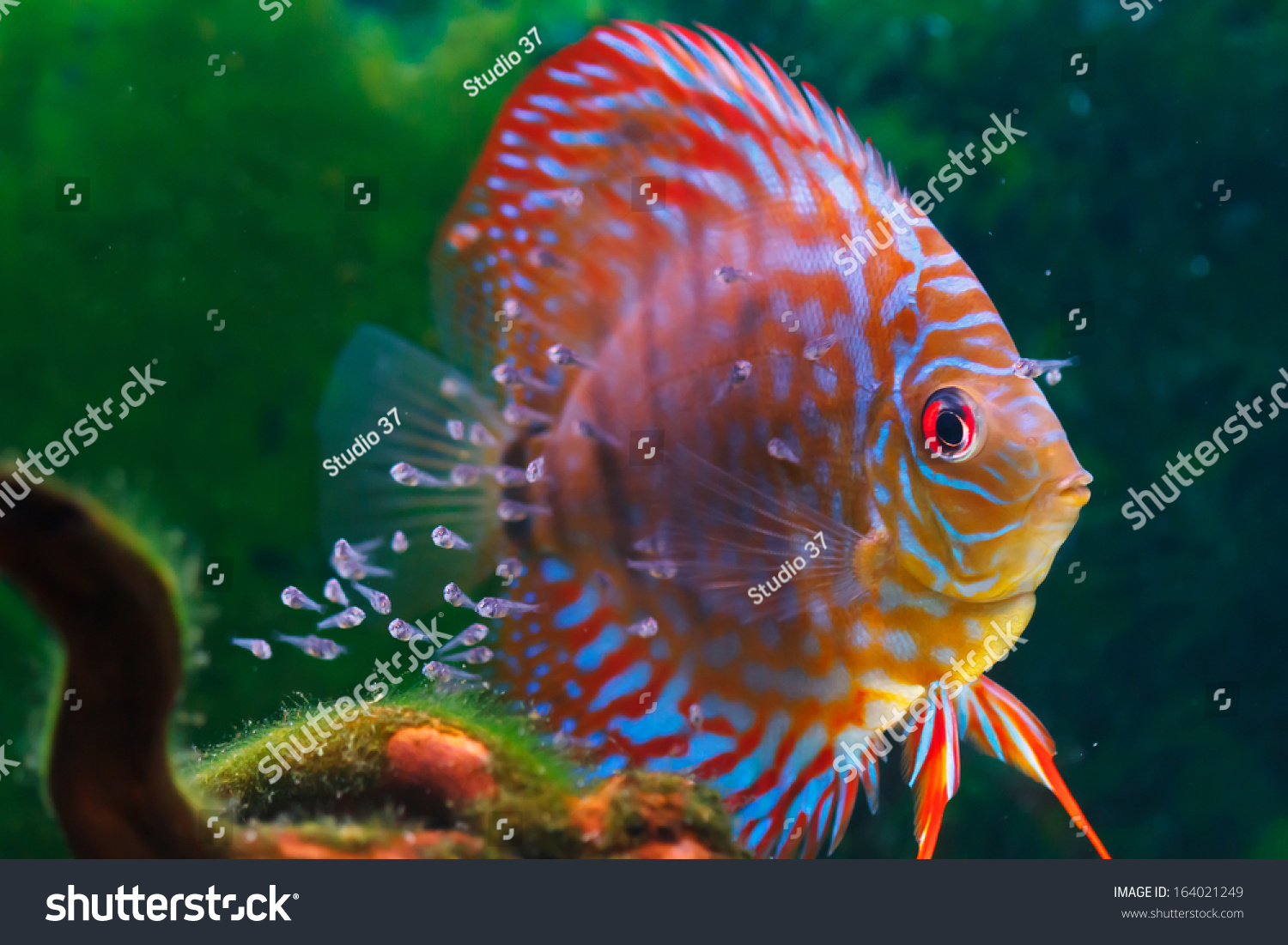 Baby discus fish swimming in freshwater discus fishes are for Swimming with the fishes