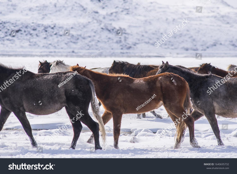 Wild Horses Run Winter Snow Field Stock Photo Edit Now 1640695732