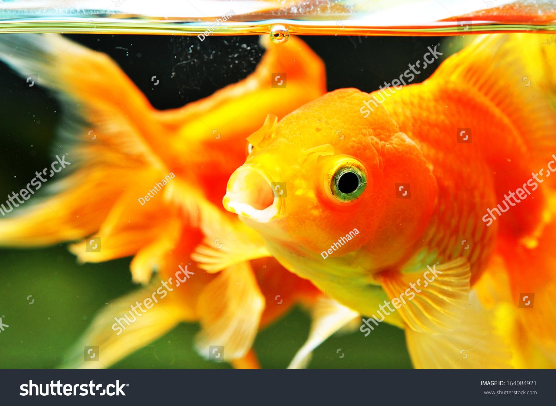 Fish for big aquarium - Big Orange Fish With Big Eyes In Aquarium