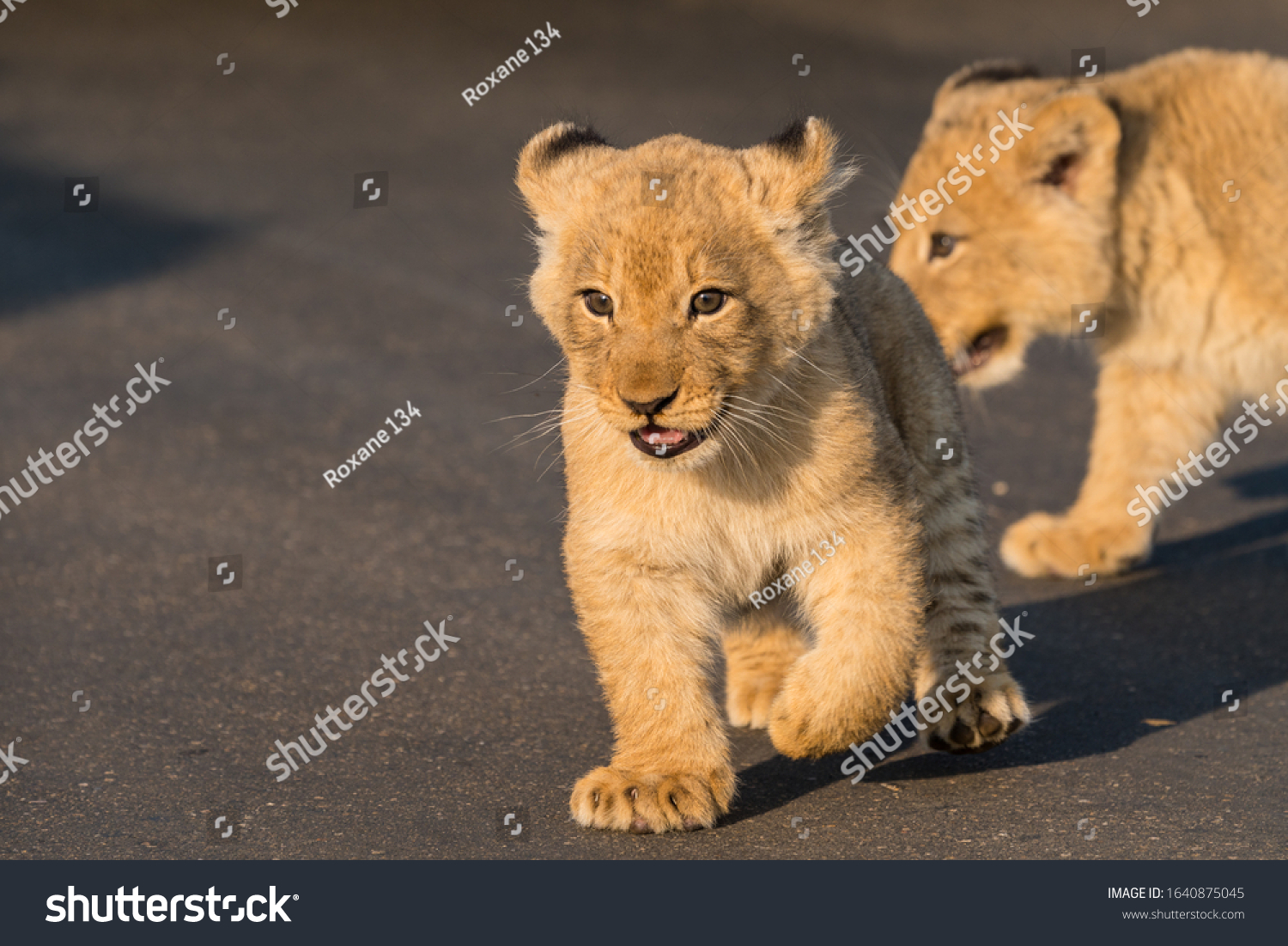 stock-photo-cute-and-adorable-baby-lion-