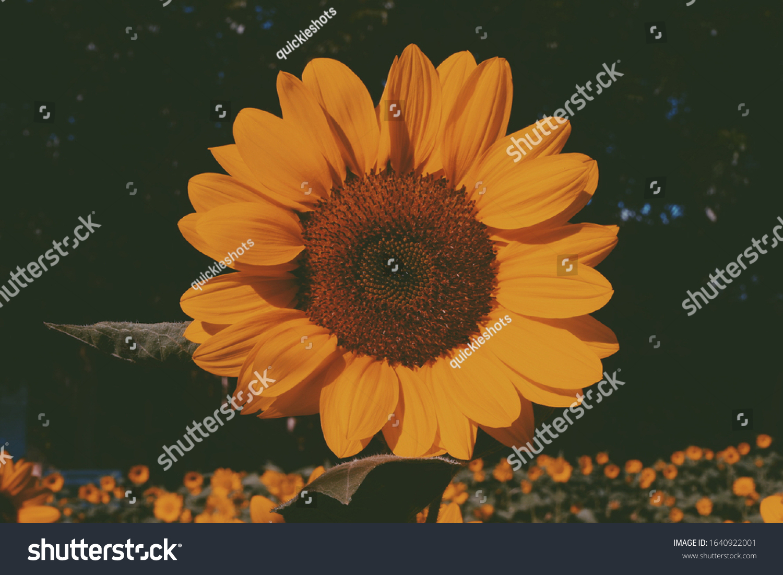 Aesthetic Sunflower Close Shot Stock Photo Edit Now 1640922001