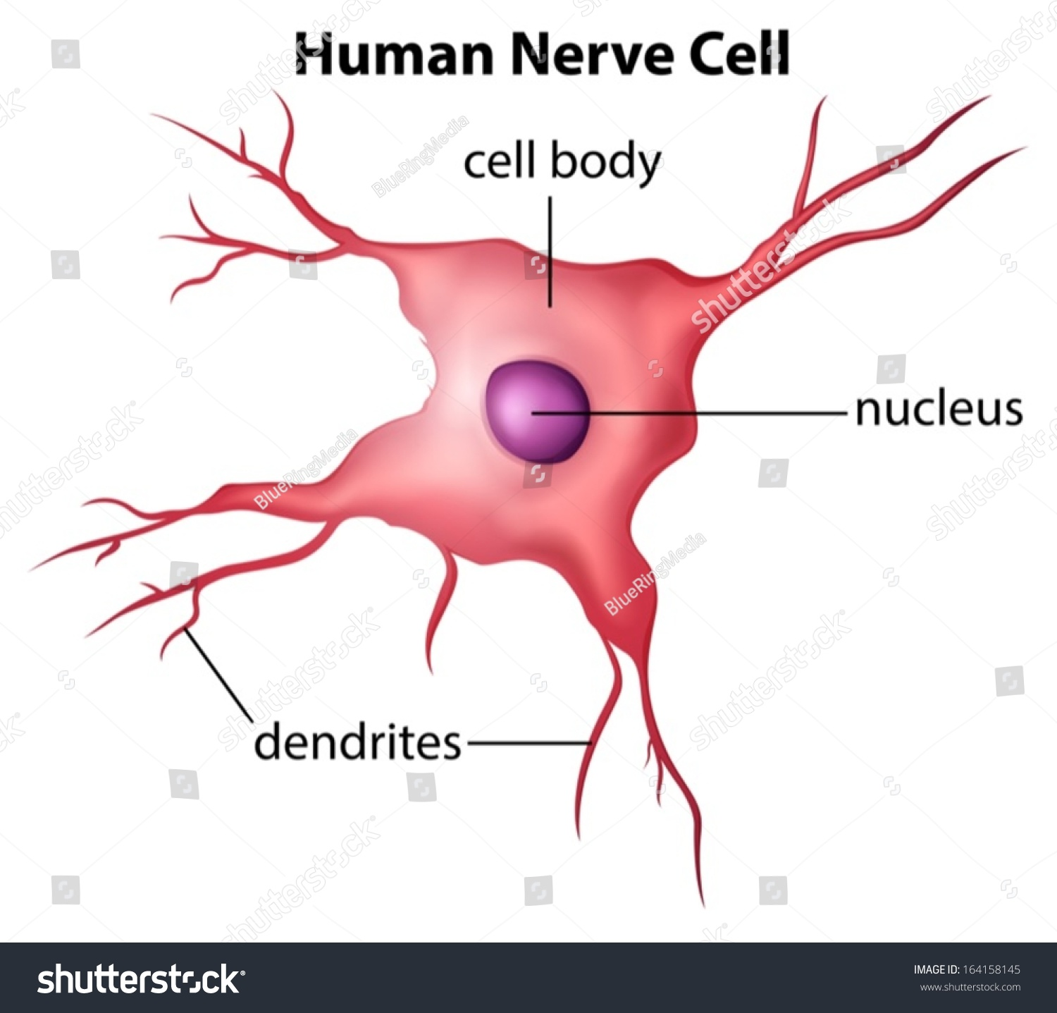 3d nerve cell diagram basic guide wiring diagram illustration human nerve cell on white stock vector 164158145 rh shutterstock com advanced nerve cell diagram nerve cell function ccuart Image collections