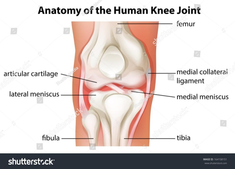 Illustration Human Knee Joint Anatomy On Stock Vector (Royalty Free ...