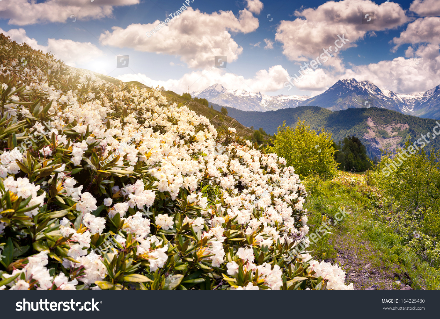 Beautiful View Alpine Meadows Rhododendron Flowers Stock Photo Edit