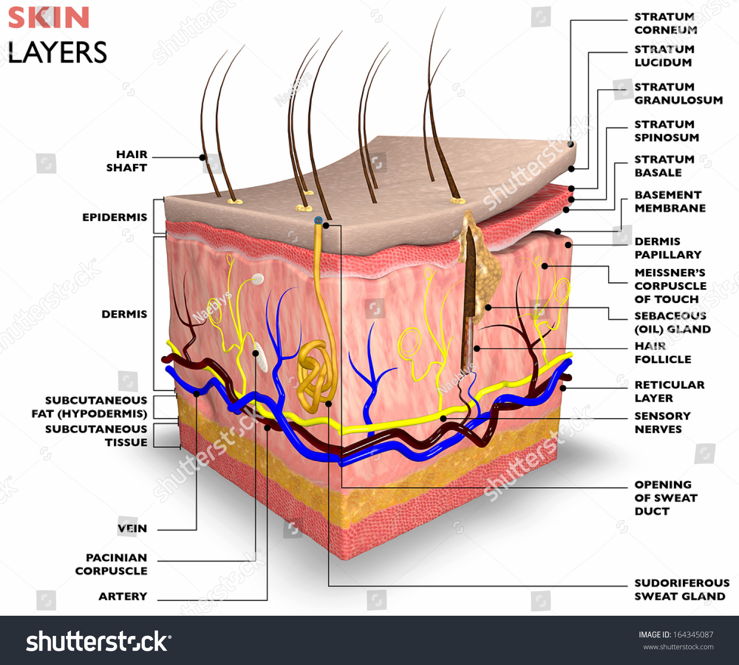 Skin Layers Consist Two Layers Superficial Stock Illustration