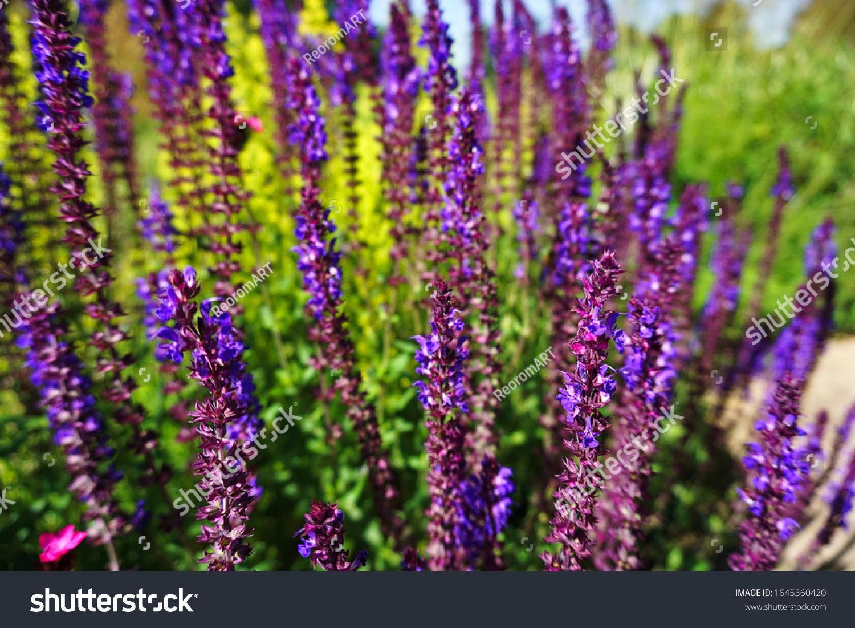 stock-photo-lavender-garden-oxford-unive
