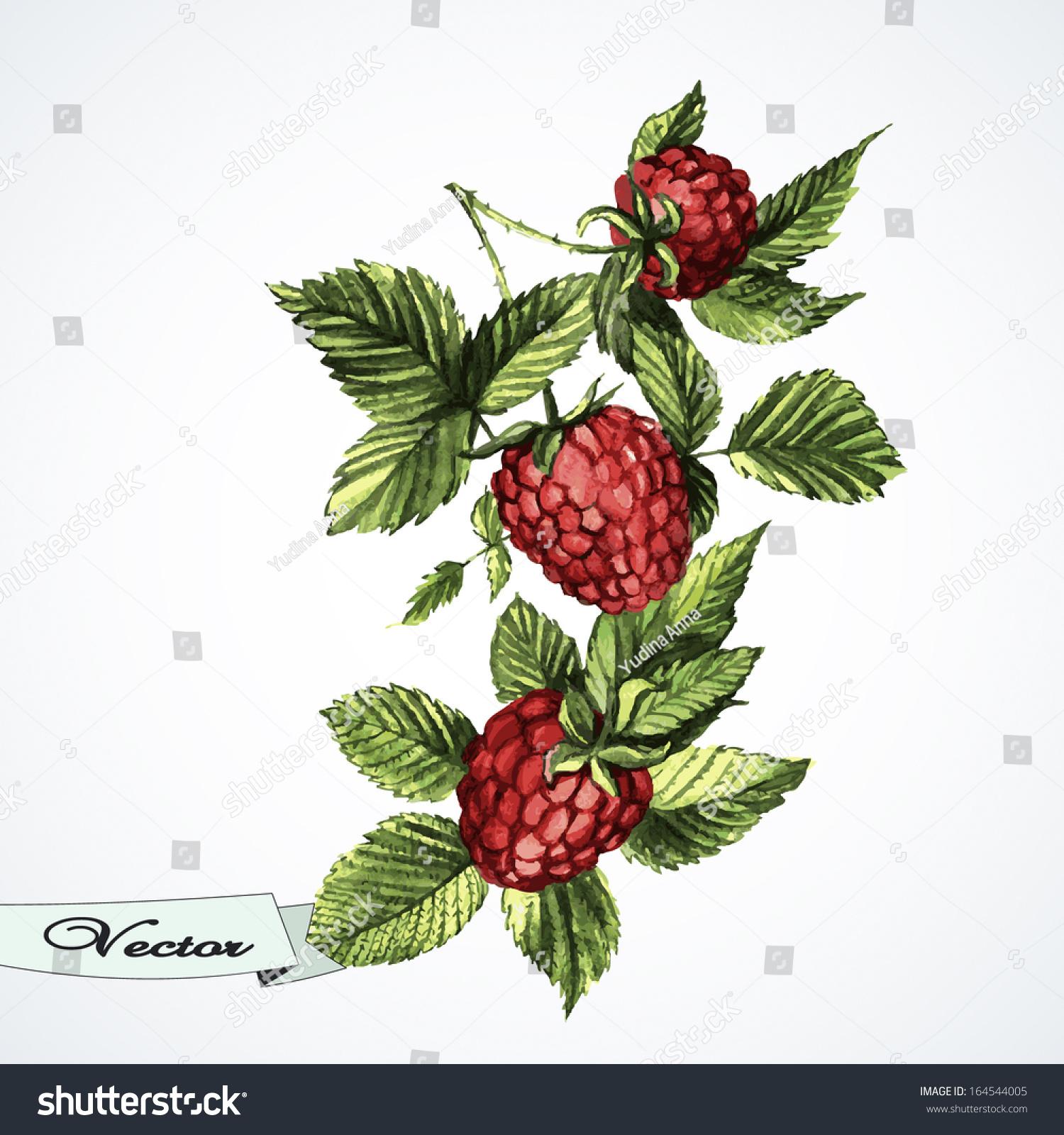 Vector Watercolor Raspberries Illustration Greeting Cards Stock