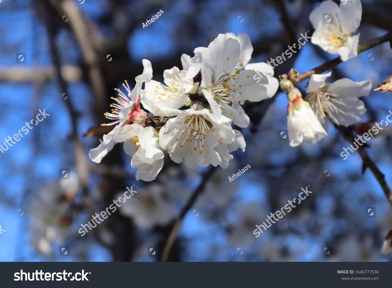 stock-photo-closeup-of-almond-tree-flowe