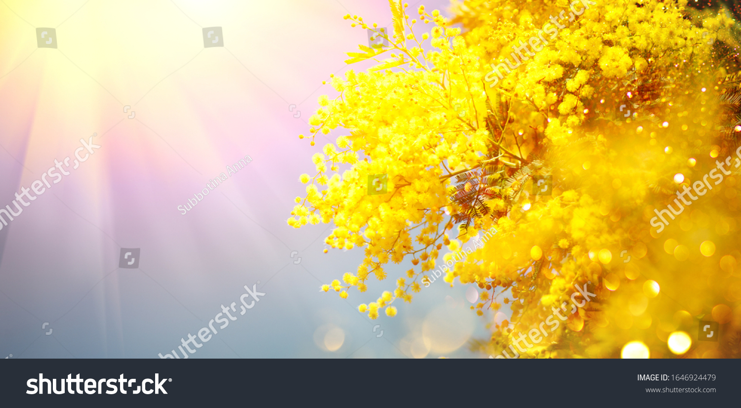 Mimosa Spring Flowers Easter background. Holiday backdrop, border art design. Blooming mimosa tree over blue sky, bright sun flare. Mother's Day. Garden, gardening. Spring holiday blossom #1646924479