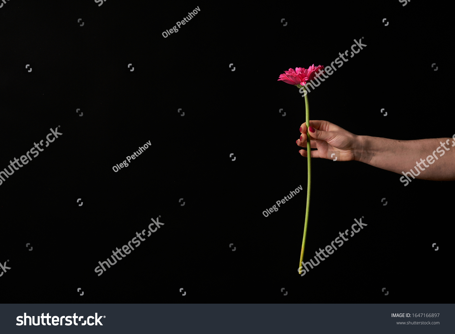 Hand holding pink gerber daisy isolated on black background. Flowers in hand #1647166897