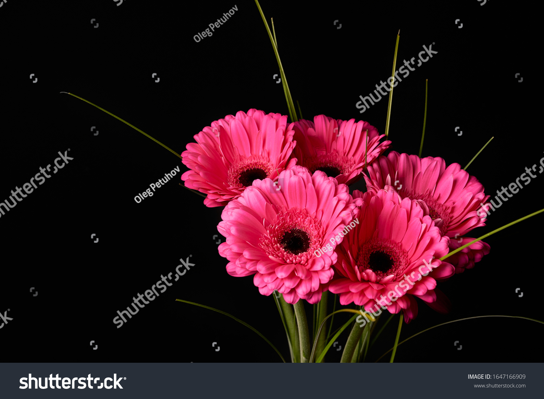 Beautiful blooming pink gerbera daisy flower on black background. #1647166909