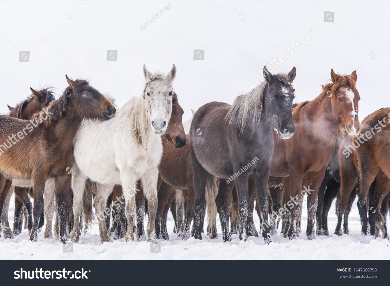 Many Wild Horses Running Winter Horses Stock Photo Edit Now 1647609799