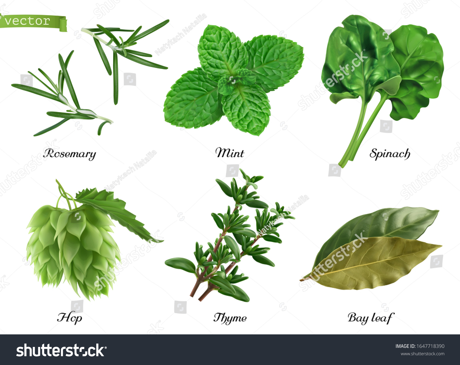 Greens and spices realistic vector set. Rosemary, mint, spinach, hop, thyme, bay leaf. Food illustration #1647718390