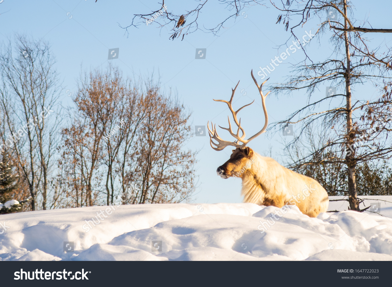 stock-photo-boreal-woodland-caribou-in-t