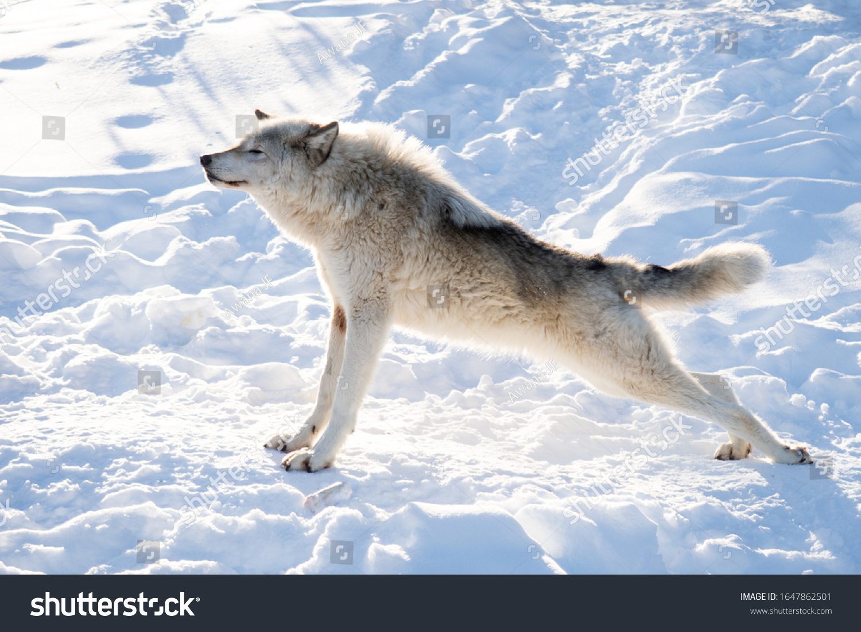 stock-photo-beautiful-eurasian-gray-wolf