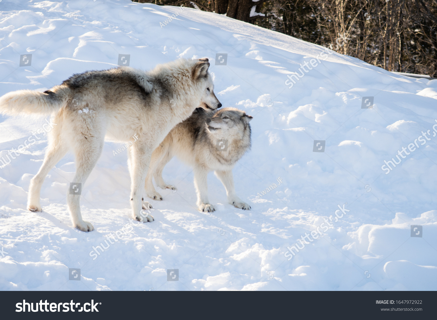 stock-photo-two-common-grey-wolves-playi