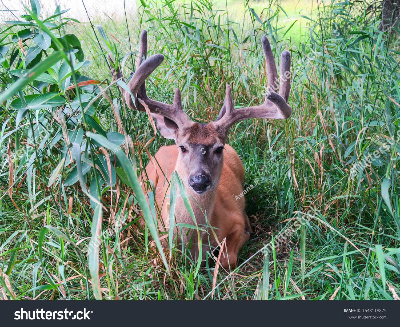 stock-photo-beautiful-white-tailed-deer-