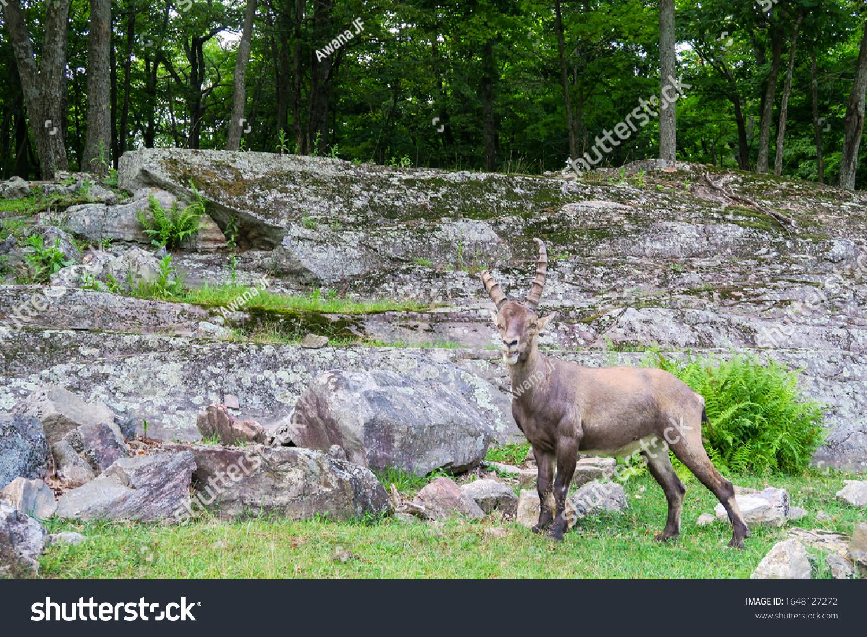 stock-photo-alpine-ibex-standing-in-the-