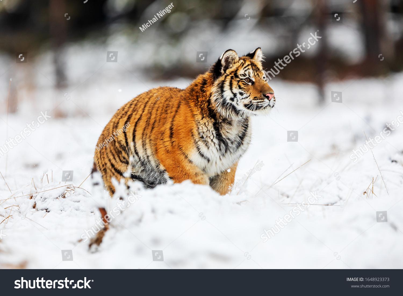 Siberian tiger Panthera tigris tigris is very tense