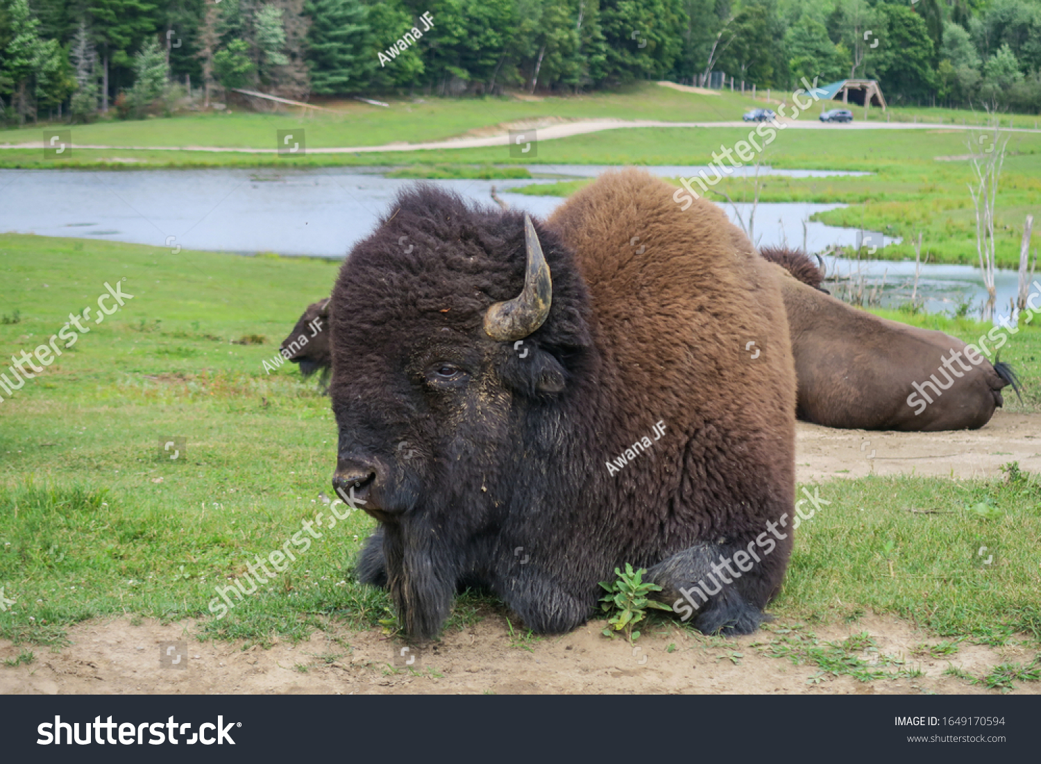 stock-photo-an-impressive-american-bison