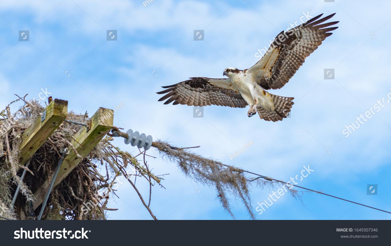 stock-photo-an-adult-osprey-pandion-hali