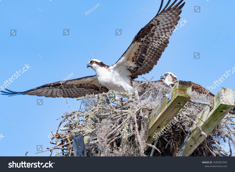 stock-photo-an-osprey-pandion-haliaetus-