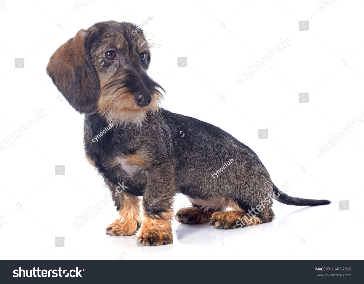Puppy Wire Haired Dachshund Front White Stock Photo (Download Now ...