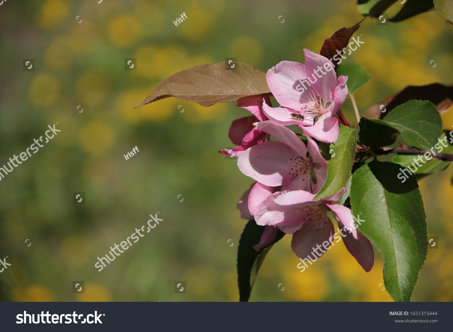 stock-photo-spring-apple-blossom-beautif