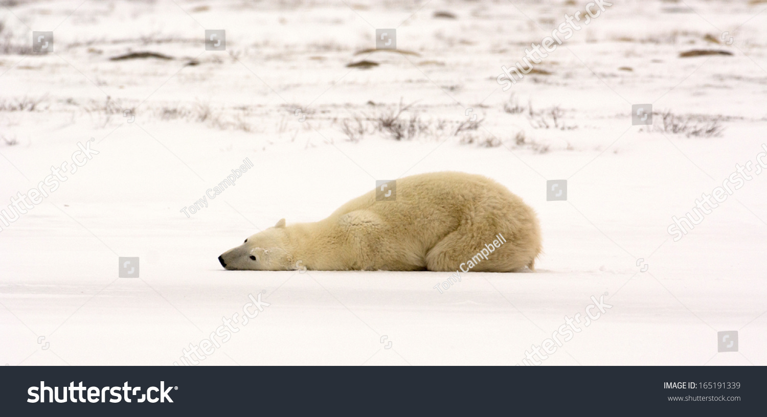 female polar bear laying down on snow covered ice near churchill manitoba