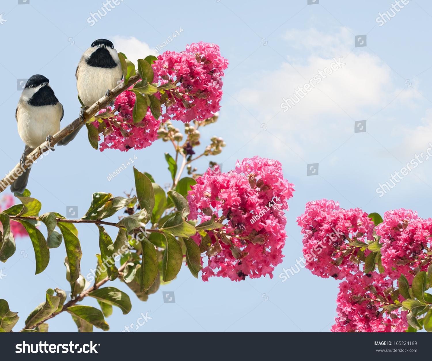 stock-photo-two-adorable-chickadees-perc