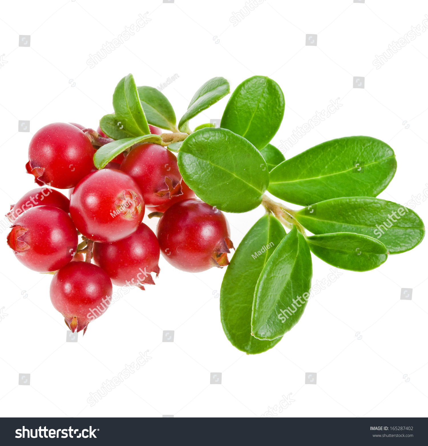 cowberry lingonberry vaccinium vitis idaea isolated on white background stock photo 165287402. Black Bedroom Furniture Sets. Home Design Ideas
