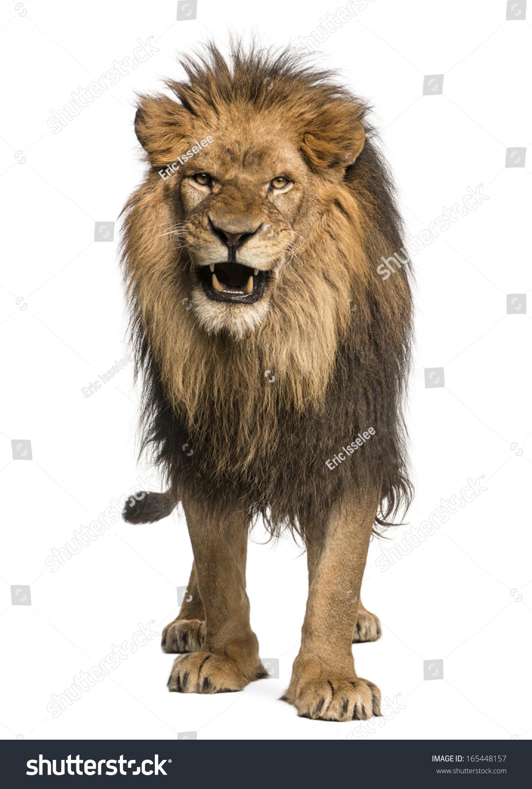Front View Lion Roaring Standing Panthera Stock Photo ...