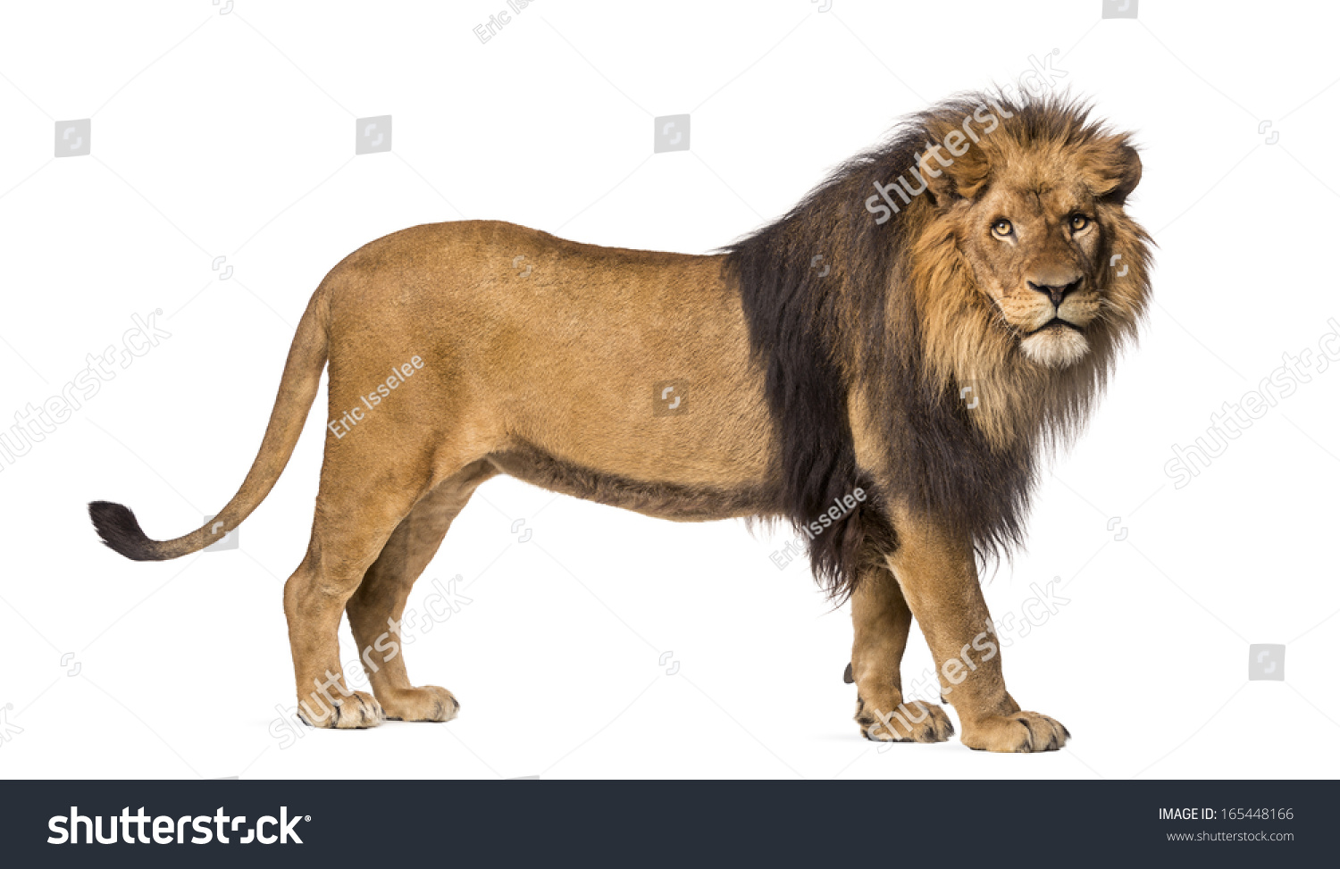 Side View Lion Standing Looking Camera Stock Photo ... | 1500 x 973 jpeg 343kB