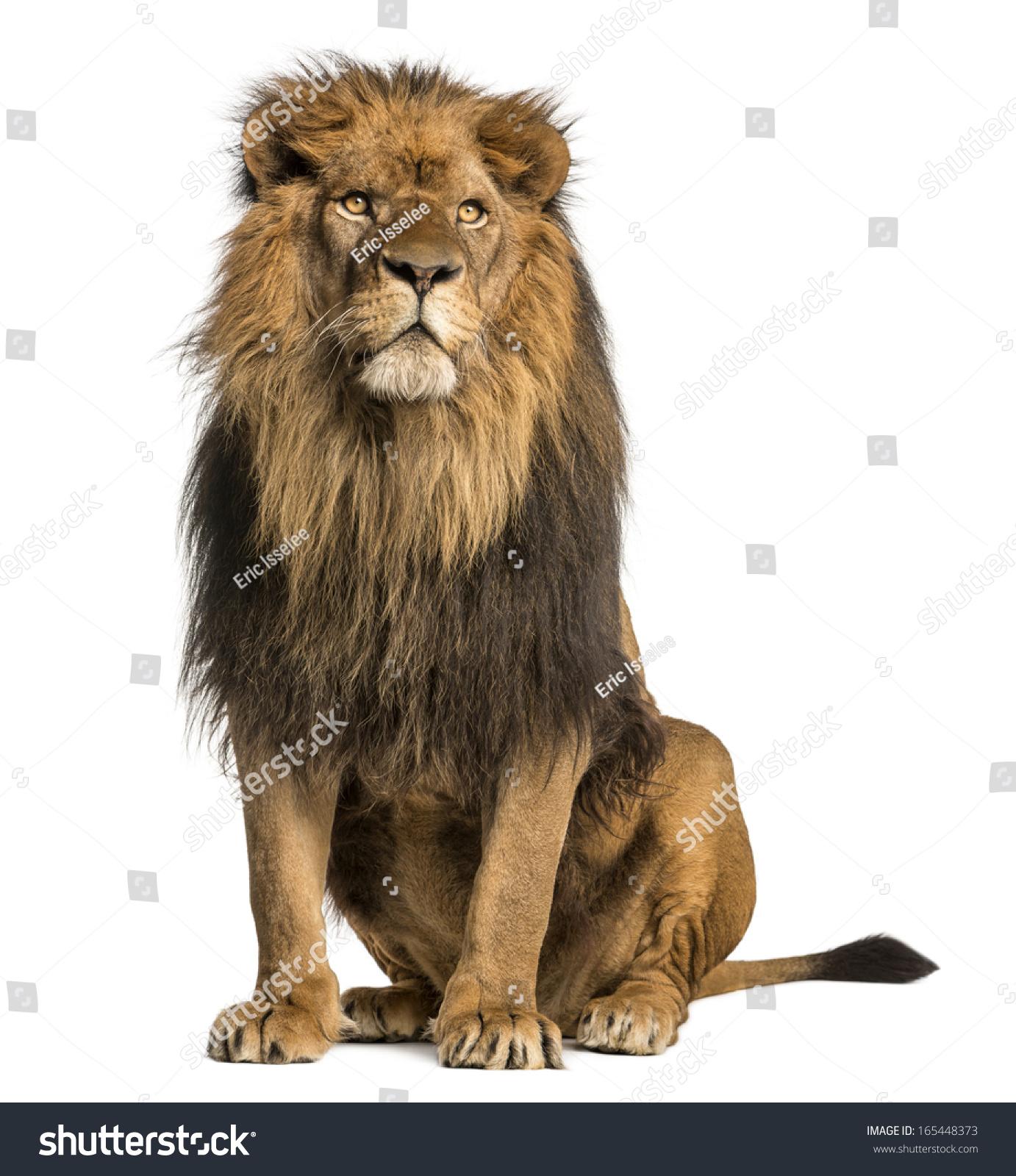 Lion sitting profile - photo#16