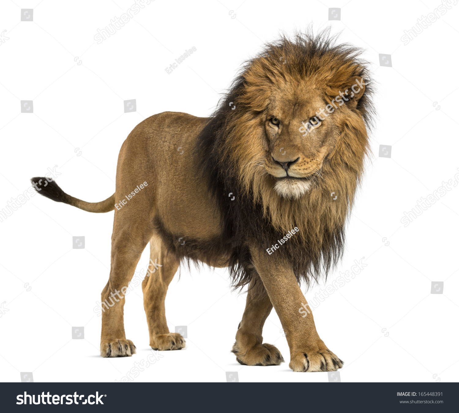 Side View Of A Lion Walking, Panthera Leo, 10 Years Old ... - photo#14